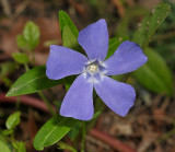 Periwinkle family (Apocynaceae)