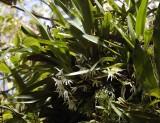 Jumellea triquetra. Large plant.