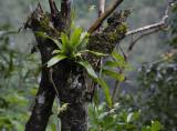 Aeranthes arachnitis