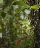 Bulbophyllum densum