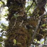 Bulbophyllum macrocarpum.
