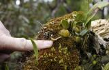 Bulbophyllum nutans. With finger.