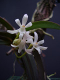 Neofinetia richardsiana front view