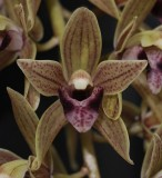 Cymbidium devonianum flower close-up.
