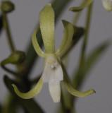 Neofinetia falcata 'Hisui' Close up.