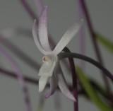 Neofinetia falcata 'Shutennou' Close-up