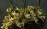 Isabelia virginalis Plant.