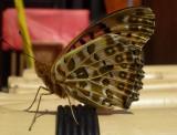 Butterfly at Matsuyama castle.