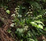 Calanthe discolor plant
