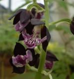 Calanthe hybrid Almost black Shikoku garden.