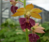 Calanthe hybrid at Shikoku garden 3.