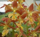 Calanthe hybrid at Shikoku garden  4.