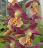Calanthe hybrid at Shikoku garden  5.