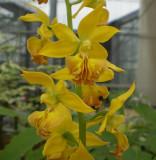 Calanthe hybrid at garden  7.