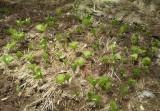 Cypripedium japonicum in field.