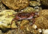 Freshwater crab.
