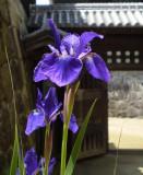 Iris at Matsuyama castle.
