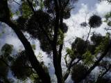 Mistletoes in Matsuyama.