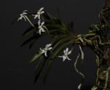 Neofinetia richardsiana Plant.