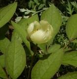 Paeonia japonica