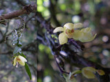 Thrixspermum japonicum