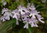 Amitostigma keiskei.orchidgarden.