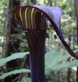 Arisaema serratum.