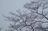 Beech trees still in bud.