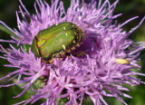 Beetle in thistle.
