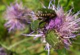Beetles in thistle.