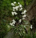 Dendrobium monile variegated in tree.