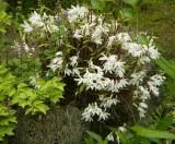 Dendrobium moniliforme in garden.
