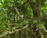 Fuukiran tree.