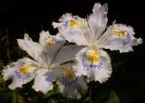 Iris japonicum.