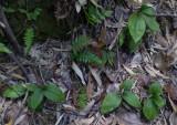 Liparis nervosa. (L. bituberculata)