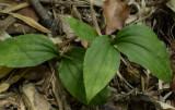 Liparis bituberculata (L. nervosa) close-up.