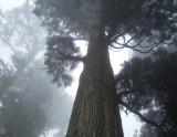 Massif sugi trees in the mist.