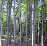 Moso. Giant edible bamboo