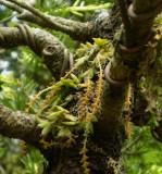 Oberonia japonica.in bonsai.