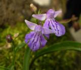 Uchoran. (Ponerorchis graminifolia)