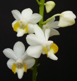 Doritis pulcherima Big white.