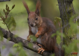 Squirrel in Park Lazienkowski -  Warszawa, Poland