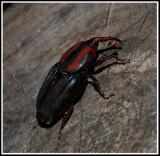 Weevil - Giant Palm Weevil (Rhynchophorus cruentatus)