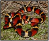 Scarlet King Snake (Lampropeltis triangulum elapsoides)