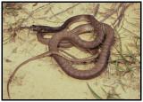 Eastern Coachwhip (Masticophis flagellum flagellum)