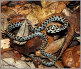 Short-tailed Snake (Lampropeltis extenuata)