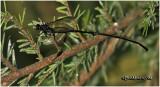 Pelecinid Wasp-Female