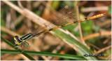 Citrine Forktail-Male