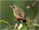 Common Yellowthroat-Male Fall