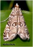 Water Lily Borer MothElophila gyralis #4751